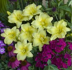 """This daylily blooms all season like it's """"going bananas""""! Lemon yellow flowers appear from early summer into fall above the arching green foliage. Grow this plant in large groups or along the border's edge for the most dramatic effect."""