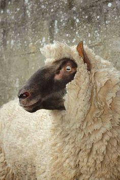 Clun Forest Sheep via British Wool Farm Animals, Animals And Pets, Cute Animals, Sheep Art, Sheep Wool, Sheep Paintings, Baa Baa Black Sheep, Sheep Breeds, Sheep And Lamb