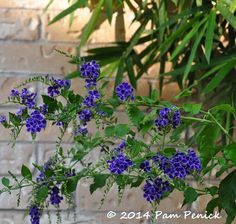 Trying Duranta 'Sapphire Showers' for end-of-summer color   Digging