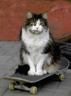 Skateboarder   #showmecats #thehobbyist