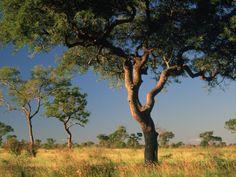 Acacia Trees, Kruger National Park, South Africa Fotografie-Druck von Walter Bibikow bei AllPosters.de