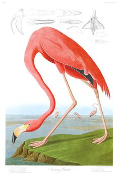 American Flamingo (dated 1838).  One of the most striking of Audubon's images now with all the colours corrected according to his written description and living speicimens (rather than the faded colours that survive on the old prints today) and with all the inevitable ageing, engraving, printing and colouring defects now removed.