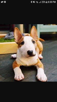 Mini bull terrier called moussey so cute love your puppy laurdiy