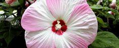 Hibiscus moscheutos by rockyhill
