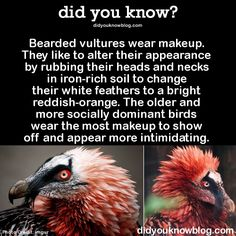 Bearded vultures wear makeup. They like to alter their appearance by rubbing their heads and necks in iron-rich soil to change their white feathers to a bright reddish-orange. The older and more socially dominant birds wear the most makeup to show off and appear more intimidating. Source
