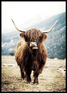 Highland Cattle On Field (30x40) in the group Posters & Prints / Insects & animals at Desenio AB (3543-5) Nature Posters, Love Posters, Beautiful Posters, Buy Posters, Morning Sun, Morning View, Elephant Poster, Lion Poster, Forest Poster