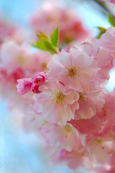 Spring -Such lush, sweet, endlessly pretty pink springtime blossoms!