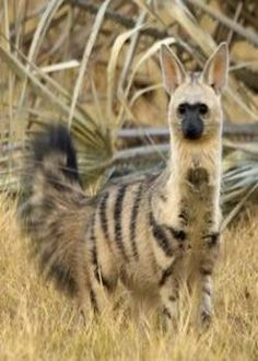 """The Aardwolf is a small, insectivorous mammal, native to East Africa and Southern Africa. Its name means """"earth wolf"""" in the Afrikaans / Dutch language. The Aardwolf is in the Hyena family. Interesting Animals, Unusual Animals, Rare Animals, Cutest Animals, Wild Animals, Exotic Animals, Beautiful Creatures, Animals Beautiful, Tier Fotos"""
