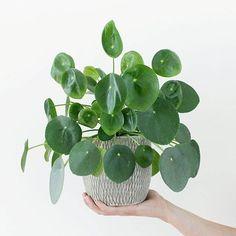 "House Plant Club (@houseplantclub) on Instagram: ""What a beautyPilea peperomioides : @imieritsma welcome to #houseplantclub"""