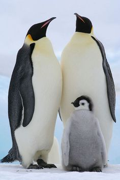 A list of Animals that Start with E. This large collection of animals starting with E contains the meaning and an example of the word in a sentence. #animalsthatstartwithE #animalswithe #EMPERORPENGUIN