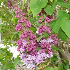 Syringa 'Equinox Valley' Equinox Valley Lilac from Prides Corner Farms White Flower Farm, White Flowers, Lilacs, Equinox, Color Of The Year, Farms, Witch, Green, Plants