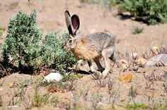 One of our Nevada black-tailed jack rabbits. #NevadaWilds