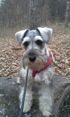 Miniature Schnauzer Gus out on a hike.