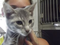 Faye is an adoptable Domestic Short Hair-Gray Cat in Shelbyville, IN. Faye is a three-month-old gray shorthair kitty that was relinquished to the animal shelter July 9th because a family members asthm...