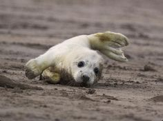 foca bb surfeando en la playa