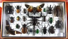 Real Display Insect Taxidermy Big Set in Wood Box Collectible Gift FS gpasy 05