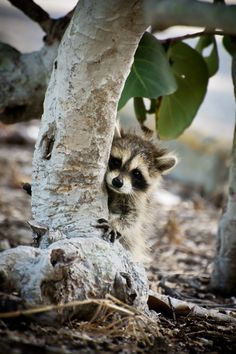 Baby raccoon hiding behind a tree