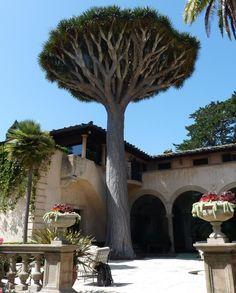 Montecito Santa Barbara huge Dracaena draco