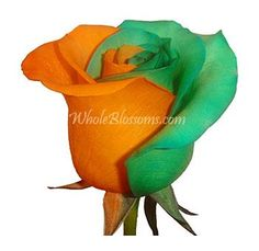 http://www.wholeblossoms.com/wholesale-roses/novelty-wholesale-roses/tinted-orange-green-rose.html