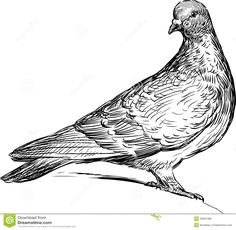 carrier pigeon drawing - Google Search