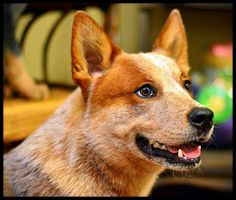 beautiful red heeler