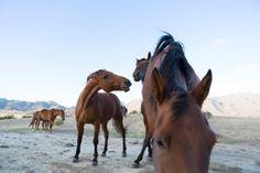 Stock horses on Otematata Station, Otematata, North Otago, New Zealand. - Box of Light New Zealand Beach, Photo Report, Stunning Photography, Surfing, Creatures, Horses, Adventure, Box, Animals