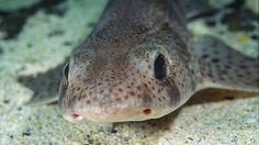 """ein Katzenhai -- Der Katzenhai heißt auf Englisch """"Dogfish"""". Cat Shark, Life Pictures, Sharks, Graphics, Awesome, Animals, Jellyfish, Snails, Fish"""