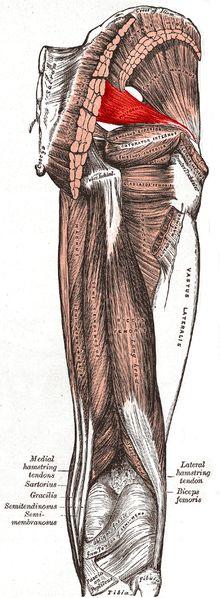 Päärynänmuotoinen lihas – Wikipedia