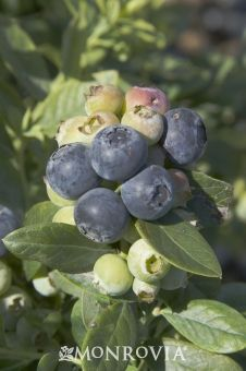 Sunshine Blue blueberry; good choice for southern gardens; better yields when planted with another late season variety