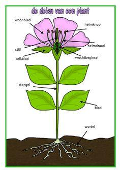 de delen van een plant - vertaald