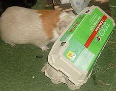 Discussion forum for Guinea Pig Cages (Cavy Cages), Care, Housing, Diet, Health and Adoptables Diy Guinea Pig Toys, Guinea Pig Hutch, Guinea Pig House, Baby Guinea Pigs, Guinea Pig Care, Guinea Pig Information, Classroom Pets, Book Libros, Guniea Pig