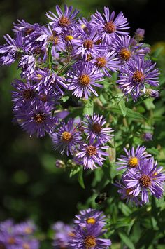 New England Aster (Aster novae-angliae) : Prairie Nursery : Native Plants Prairie Garden, Sun Garden, Bog Plants, Native Plants, Belle Plante, Home Landscaping, Garden Planning, Watercolor Flowers, New England