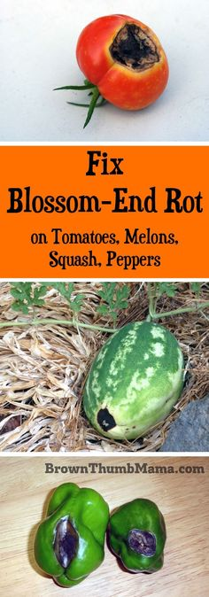 "Hydroponic Gardening Ideas Yes, you can fix blossom end rot. While you can't ""heal"" a vegetable that's already damaged, here's how to prevent blossom end rot from happening again. Growing Tomatoes, Growing Plants, Growing Vegetables, Growing Melons, Hydroponic Gardening, Container Gardening, Vegetable Gardening, Flower Gardening, Veggie Gardens"