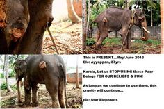 STOP Elephant Abuse in Kerala  Brutally tortured Ayyappan 37 yrs, currently undergoing treatment at his owner's house. He is now able to stand. Giving couple of pics.