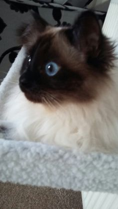 O'malley only has eyes for his treats  Blue eye'd boy xx