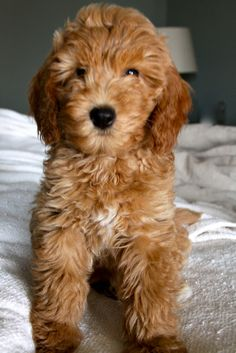 mini goldendoodle... I want one!! Ohhh my two fav dogs together couldn't get any better