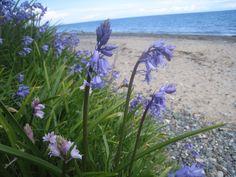 Bluebells on the Vollen Beach