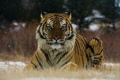 29 July - Global Tiger Day