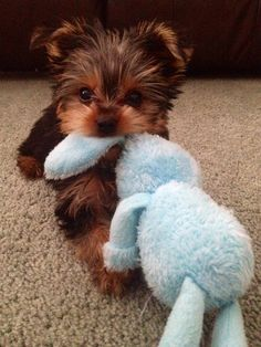 The Popular Pet and Lap Dog: Yorkshire Terrier - Champion Dogs Cute Little Puppies, Cute Little Animals, Cute Dogs And Puppies, Cute Funny Animals, Baby Dogs, Puppies Puppies, Cutest Dogs, Rottweiler Puppies, Funny Puppies
