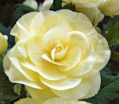 Begonia Primrose Blackmore & Langdon - White Flower Farm (full to partial shade. blooms june - oct) $59