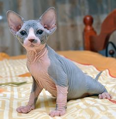 Sphynx kittens available