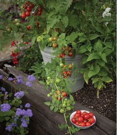 Neat, compact tomato ideal for tight spaces. Tasty and high-yielding, with a polite habit easily tamed with the use of standard tomato cages. Small Vegetable Gardens, Small Space Gardening, Vegetable Gardening, Tomato Cages, Tomato Seeds, Farm Gardens, Patio Gardens, Organic Seeds, Plant Needs