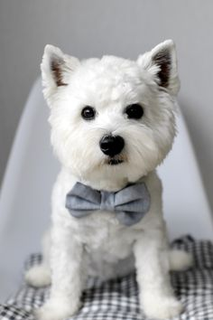 OMG! My heart is melting for this doggie. We want a Westie for our family dog so very bad.