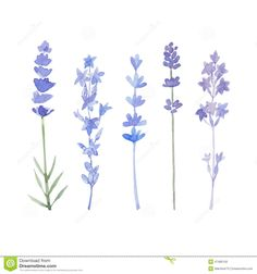 Watercolor Lavender Flower Isolated On White Stock Illustration ...