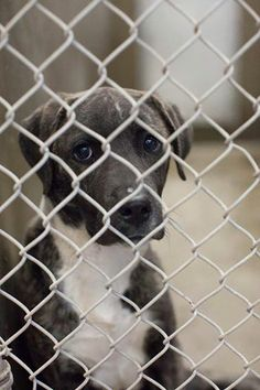 status unknown THIS GIRL IS STUNNING!! VERY PRETTY AND UNIQUE COLORING AND MARKINGS! Lab/Catahoula mix female less than a year old.  Kennel A26. Available NOW 3/21!! **$51 to adopt. PLEASE GO NOW IF YOU ARE INTERESTED IN FOSTERING OR ADOPTING!  Located at Odessa, Texas Animal Control. https://www.facebook.com/speakingupforthosewhocant/photos/a.573572332667009.1073741829.248355401855372/746709972019910/?type=1&theater
