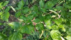 Filename: chili, free photos, free sri lanka photos, kochchi, sri lanka kochchi wallpaper JPG 633 kB Resolution: File size: 633 kB Uploaded: - Date: Cool Wallpaper, Sri Lanka, Free Photos, Spinach, Chili, Vegetables, Wallpapers, Green Chilli, Vegetable Gardening