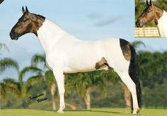 Kalifa da Barraca - Campolina stallion