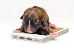Beyonce, the little Dog on the iPhone