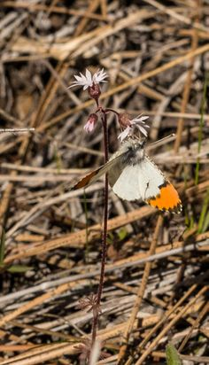 A sara orangetip butterfly on a praire star at Whychus Canyon Preserve. Photo: Kris Kristovich.