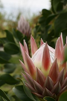 Fields of Protea. Fields of Protea